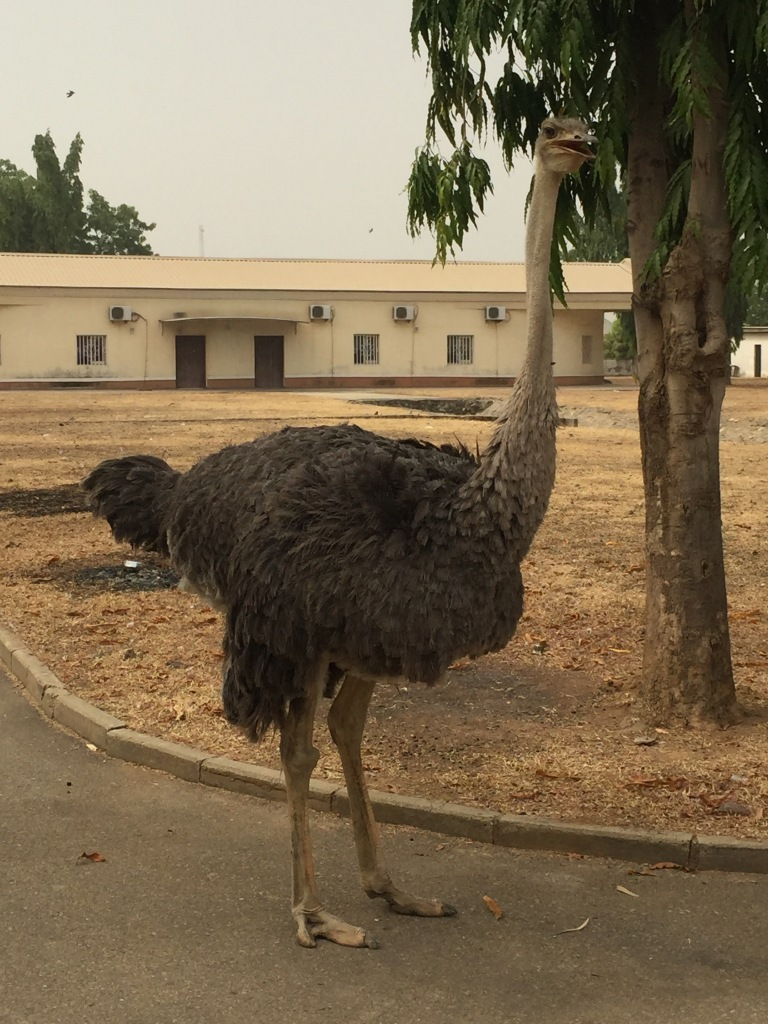 Our Resident Ostrich